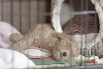 ②ゲージで寝る犬